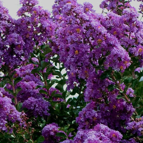 Crape Myrtle, FE Purple Magic
