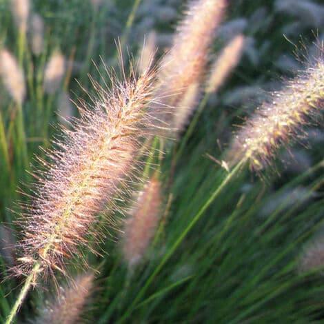 Grass, Cassian