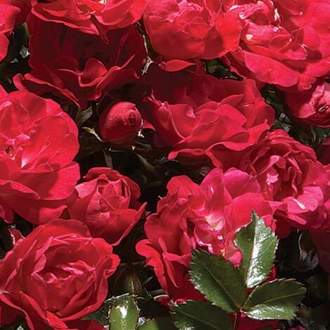 Rose Drift Red