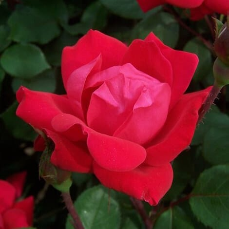 Rose, Knockout® Red Double