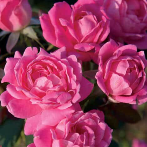 Rose, Knockout® Pink Double