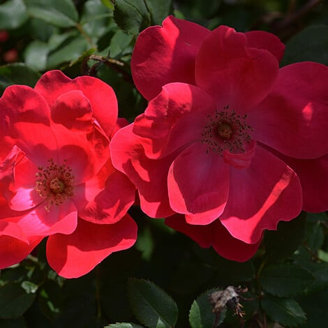 Rose, Knockout® Red Single