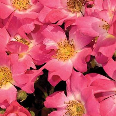 Rose, Pink Drift